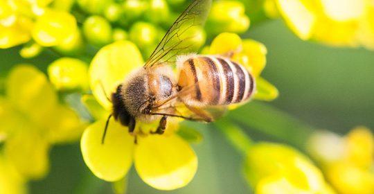 abelha2
